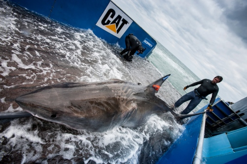 Figure 2: Photograph of white shark Lydia prior to release.  Image courtesy of Ocearch.org.