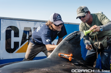 Figure 1: Photo of a SPOT tag (upper most device) attached to the dorsal surface of white shark Mary Lee. Photo courtesy of Ocearch.org.